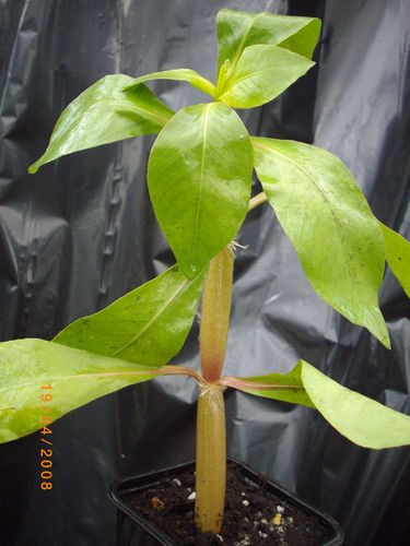 Alternanthera aquatica En maceta 5 cms