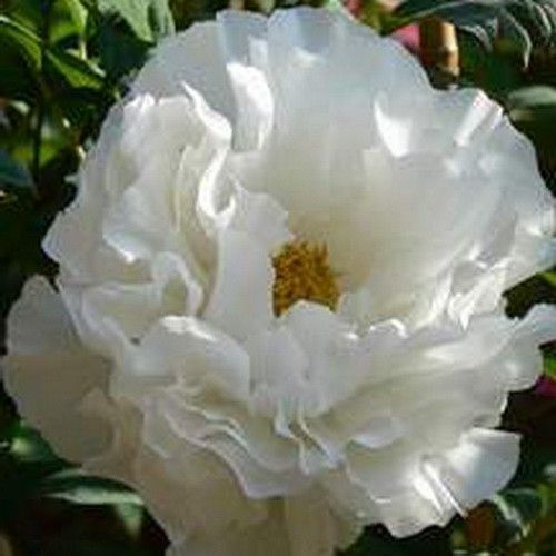 Paeonia A normal Blanca en maceta