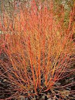 Cornus sanguinea midwinter fire, en maceta