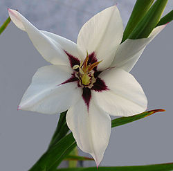 Acidanthera murielae  (Un bulbo)