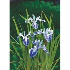 Iris Laevigata Mottled Beauty
