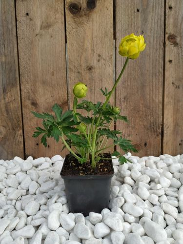 Trollius Lemon Queen