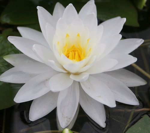 Nymphaea Perry double white (En Rizoma)