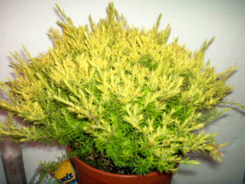 Diosma Sunset Gold