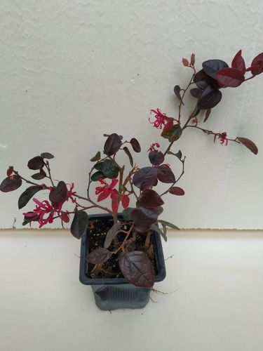 Loropetalum Chinensis Fire Dance (En maceta 9x9