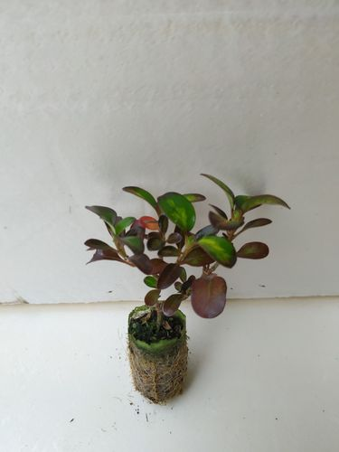 Coprosma Midnight Martini (plantel)
