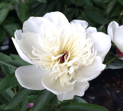 Paeonia Immacule (Bulbo)