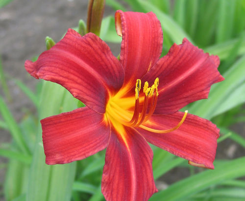 Hemerocallis Autumn Red